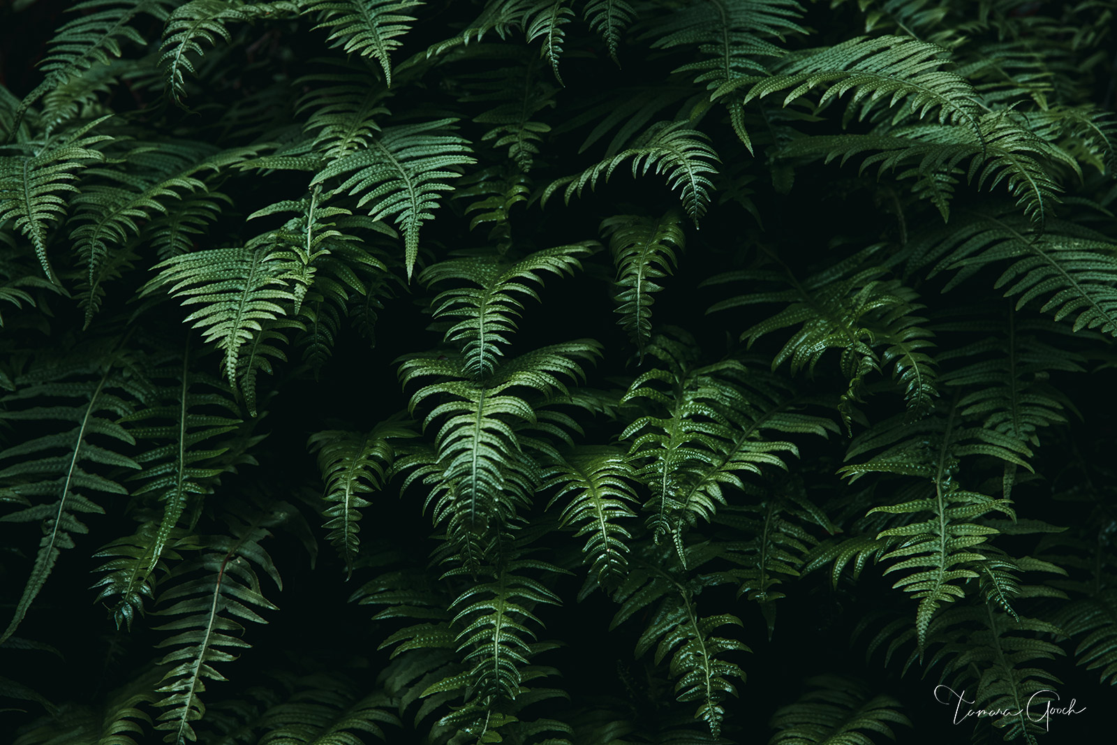 Limited Edition Print of 50 A summertime walk in the Northwest woods reveals large patches of ferns growing on shaded trails...