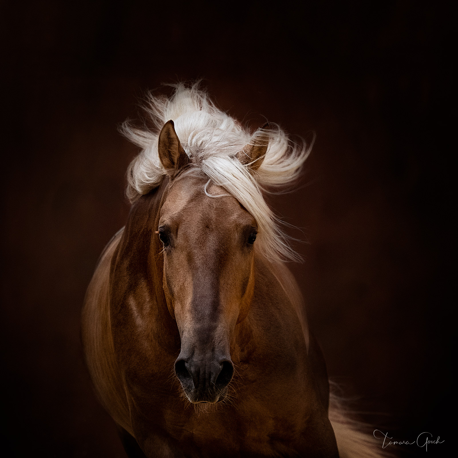 Gallery quality fine art print of a palomino Lusitano horse.
