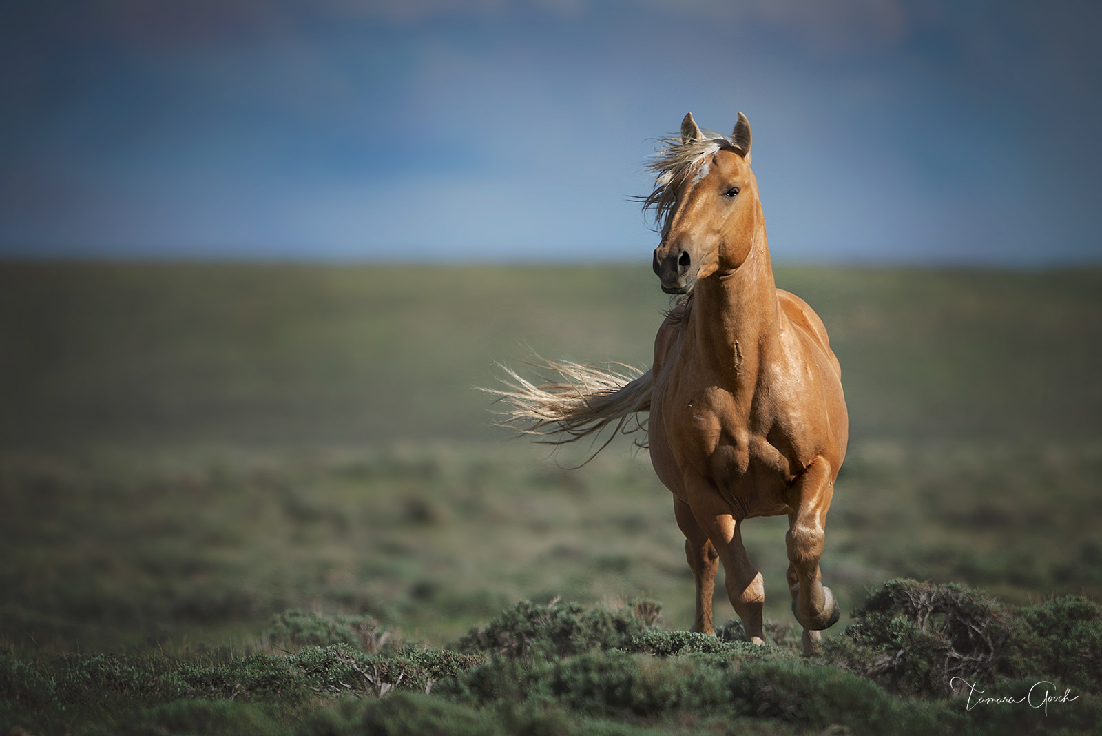 Limited Edition Print of 50 This Palomino wild horse just appeared out of now where. A horse on a mission with somewhere to be...