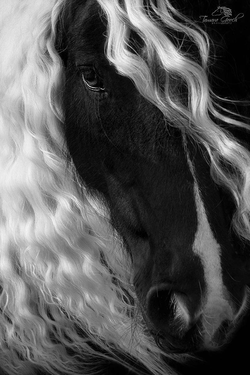 Gypsy, Gypsy Vanner, Gypsy Cob, Cob, black and white, head shot, long mane, eye, Gypsy horses, horse,  equine, equestrian art, art, decorative, space, elegant, Tenderness, decor, interior, design, rus, photo