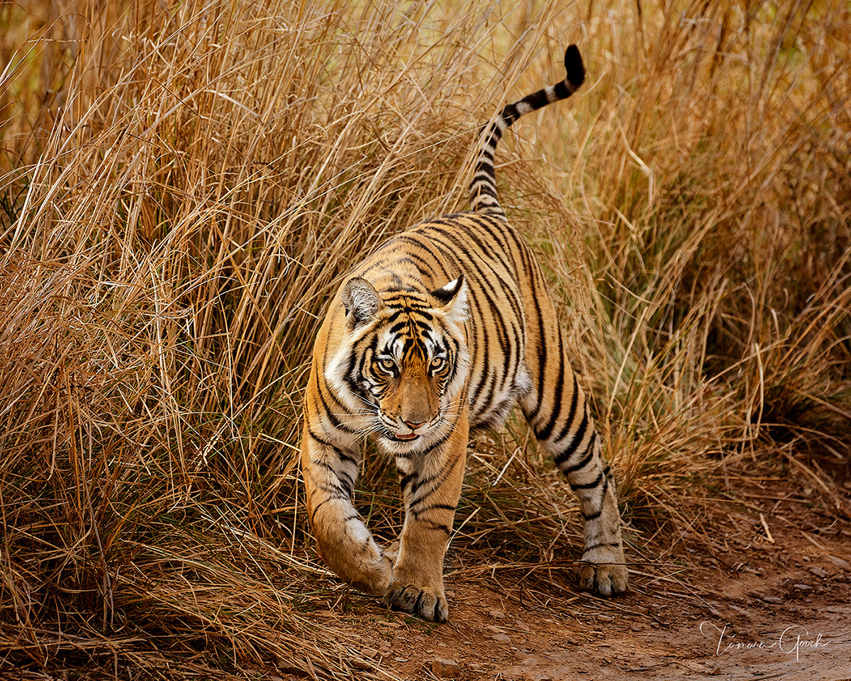 tiger, India, cub, grass, grasses, image, images, photo, photos, photograph, photographs, photography, picture, pictures, print, prints, fine art, limited edition, buy, for sale, canvas, aluminum, fra, photo
