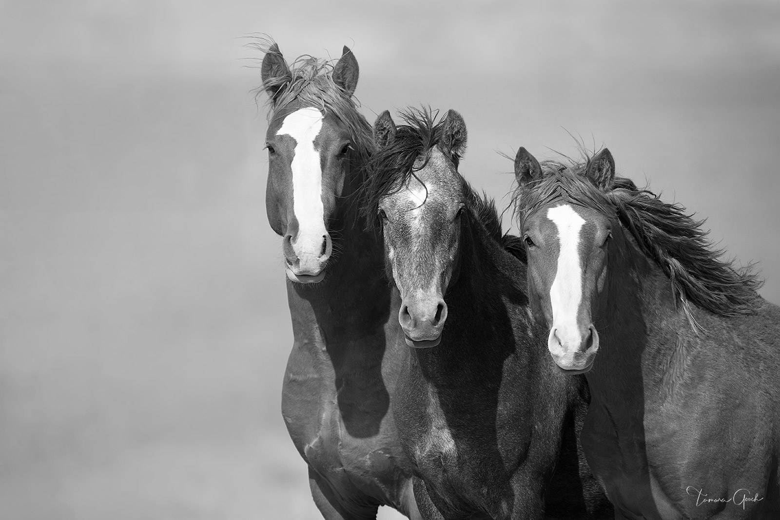 Limited Edition Print of 50 Tres Compadres, the wild horses of Maggie Springs Wyoming. Any time out on the range with wild horses...