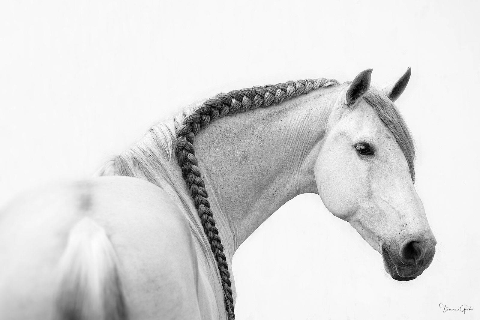 Warlander horse photo print for sale in black and white.