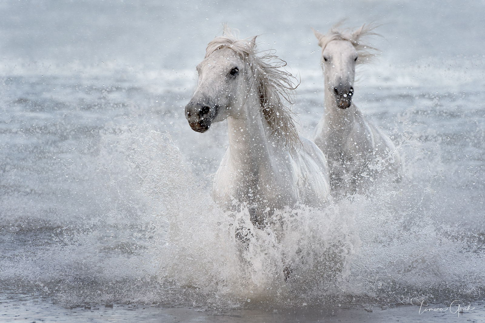 Two white horses of the Camargue splashing in the Mediterranean Sea.