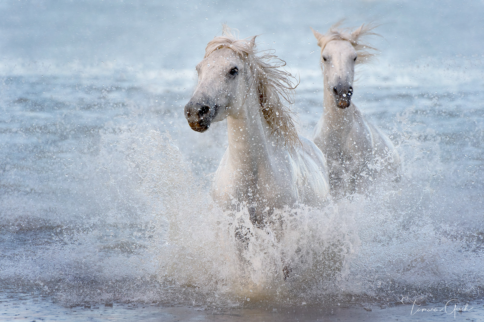 Photo wall art work of the white horses of the Camargue. Gallery quailty, custom options available.