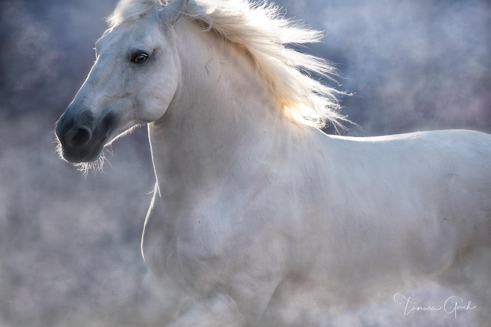 Lusitano Horse limited edition fine art print, Equestrian art, artwork, Portugal, Iberian, white, stallion, horse, equine, sophisticated, luxury, fine, art, limited, edition, print, home, decor, inter, photo